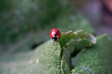 A closeup of a ladybug on a green leaf
