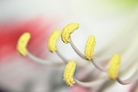 Closeup of Amaryllis flower stamen