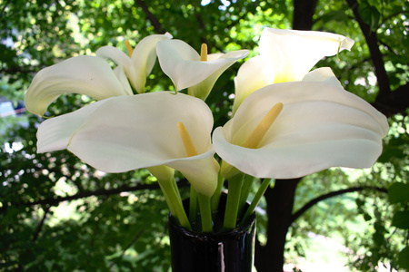 Closeup of white calle lilies in a vase