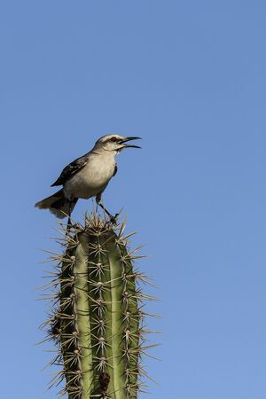 Tropical mockingbird singing on a cactus