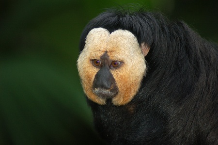 saki: White faced saki Stock Photo