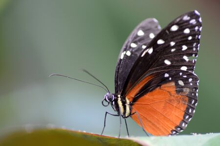 longwing: Tiger Longwing (Heliconius hecale)