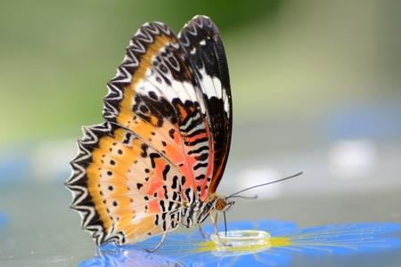 chrysope: Leopard chrysope papillon Banque d'images