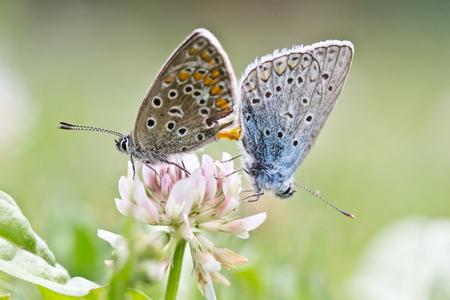 Butterfly Love   Lysandra coridon Stock Photo - 22922017