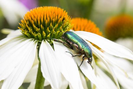 flowerpower: Goldsmith Beetle On Echinacea Purpurea Alba
