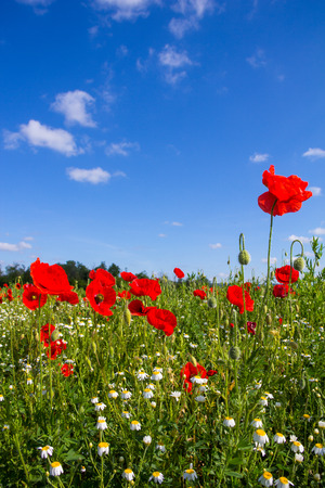 Poppy Field Near Lake Neusiedl in Burgenland Austria