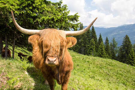 Highland Cattle In The Nocky Mountains Of Carinthia Stock Photo - 59721202