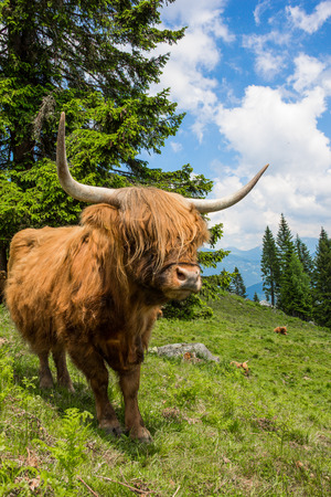 Highland Cattle In The Nocky Mountains Of Carinthia Stock Photo