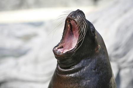 sea lion: Big mouthed sea lion