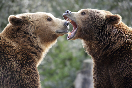 fight hunger: Grizzly bears in a fight Stock Photo