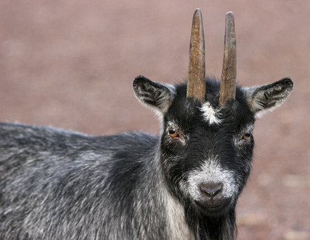 smal: Smal cute goat Stock Photo