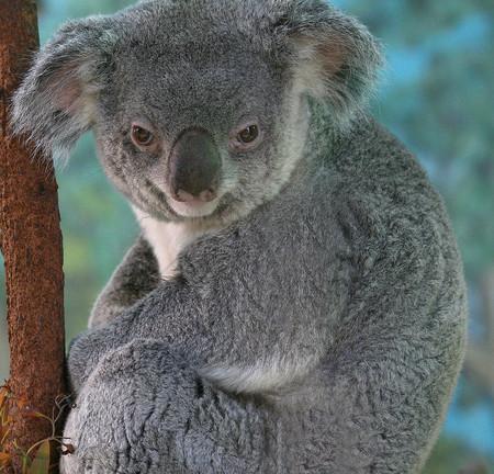 bear s: Koala bear in a tree