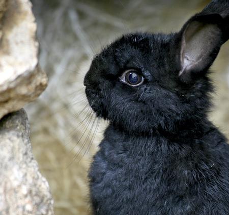 litle: Black rabbit