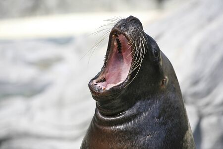 mouthed: Big mouthed sea lion