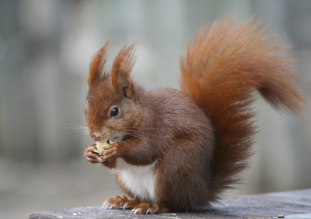 smal: Squirrel eating nut