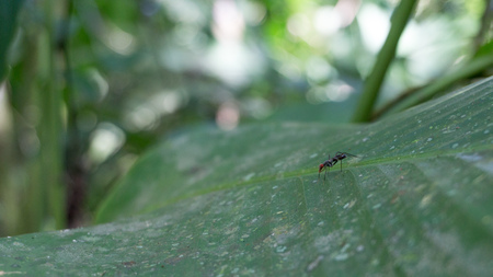 Small ant on a huge mountain-like green leave