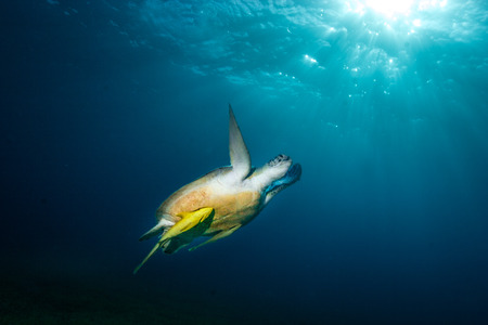 Underwater photo of a green sea turtle (chelonia mydas) accompanied by sharksucker (remoras) surfacing against the sun. Impressive backlighting with light rays and refractions