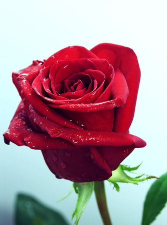 Single red rose on the light blue background