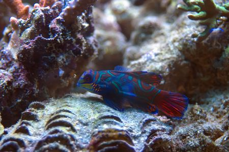 Mandarin fish from Red Sea, bright-coloured coral reef fish, can live in the marine aquariums. photo