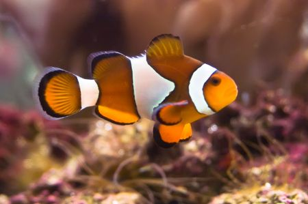 clown anemonefish: Clown fish in the coral reef