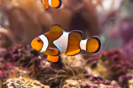 Clown fish in the coral reef photo