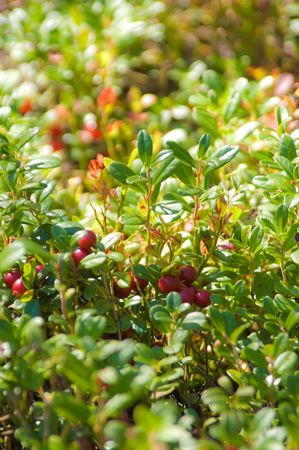 Red ripe cowberries in a forest (Vaccinium vitis-idaea) Stock Photo - 5474122