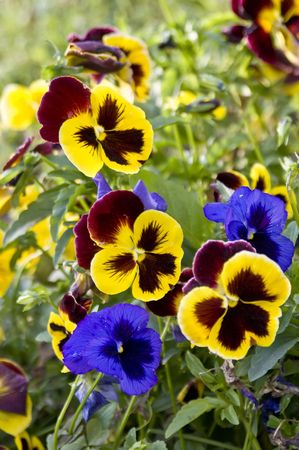Bright pansy flowers background Stock Photo - 5528174