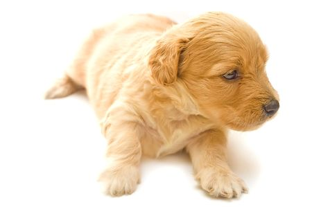 Single puppy isolated on white background photo