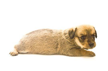Single puppy isolated on white background photo