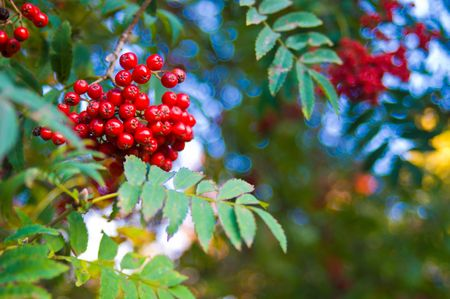 Red vibrant mountain ash berries and blue sky photo