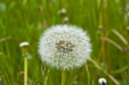 White dandelion with seeds, macro shot photo