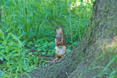 Squirrel having dinner in the forest photo
