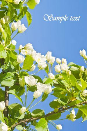 Apple tree white flowers against blue sky Stock Photo