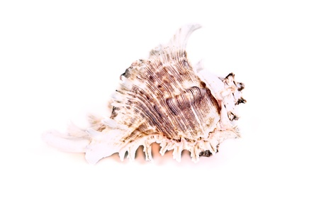 Seashell isolated on the white Stock Photo