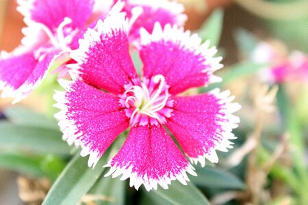 centered: Centered Dianthus Flower