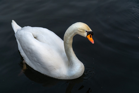 A swan on the shores of the lake. In the background swim ducks. Stok Fotoğraf