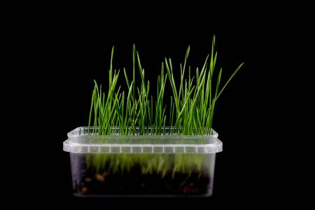 Green grass in transparent pot, isolated on black