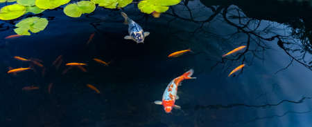 Famous Colorful asian fish Koi carp, colored varieties of Amur carp float in an artificial pond, water garden. , view from above