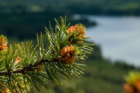 pine tree cones photo