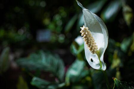 callas: White wild callas Stock Photo