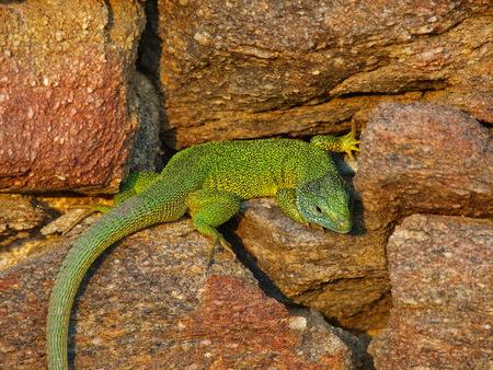 lacerta: green lizard, emerald lizard Stock Photo