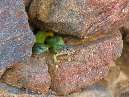 green lizard, emerald lizard Stock Photo