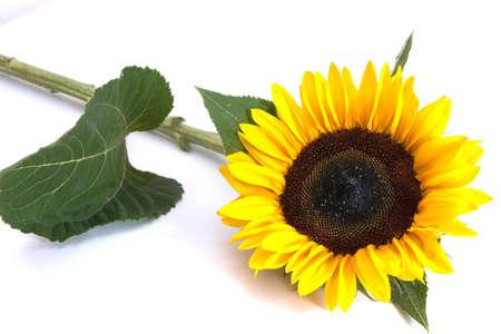 beautiful yellow sunflower isolated on white background photo