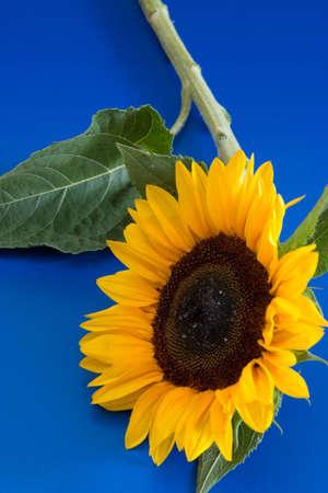 beautiful yellow sunflower lying on blue background photo