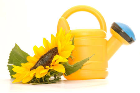 yellow sunflower and watering can isolated on white background photo