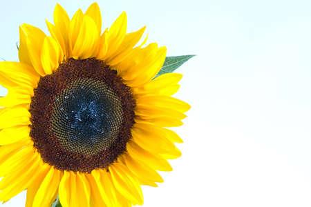 yellow sunflower isolated on white background, cornered photo