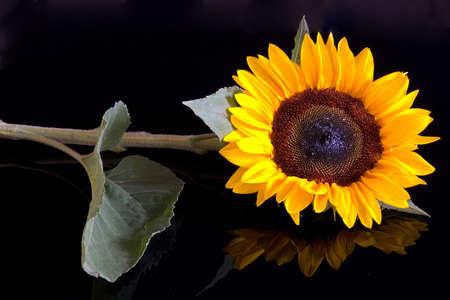 sunflower isolated on black background, mirrored photo