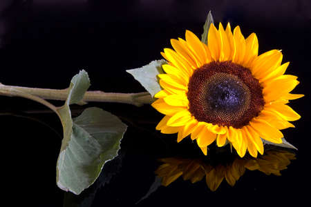 mirrored: sunflower isolated on black background, mirrored Stock Photo
