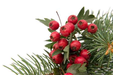 composition made of hawthorn berries and spruce photo