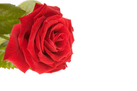 blosom: just a red rose isolated on white Stock Photo